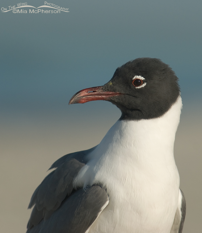 Laughing Gull close up