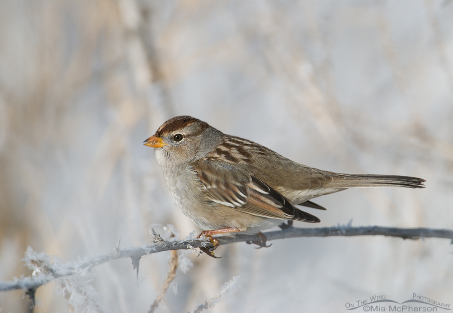 Juvenile White-crowned Sparrow on a cold day