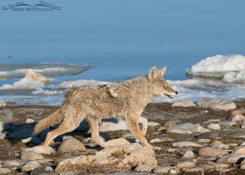 Coyote running along the Great Salt Lake