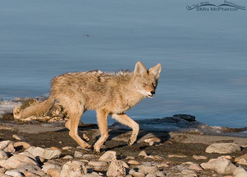 Coyote running on the shoreline of the Great Salt Lake
