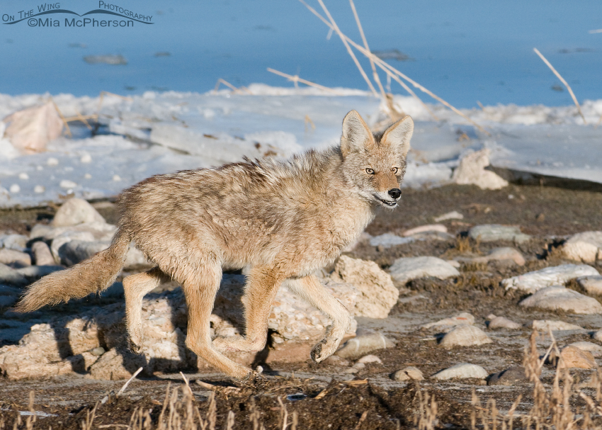 Coyote with Three feet off of the ground