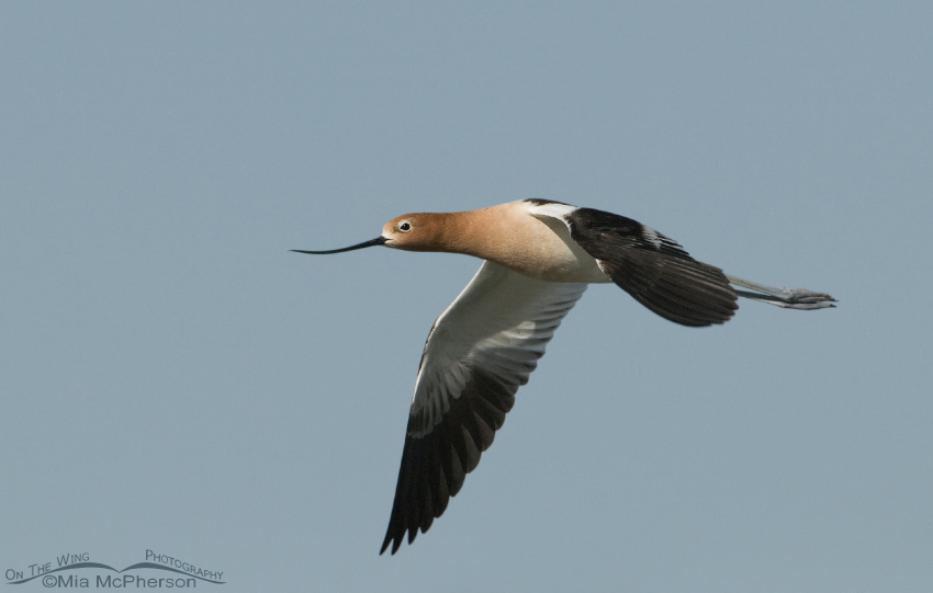 American Avocet (Recurvirostra americana) in flight
