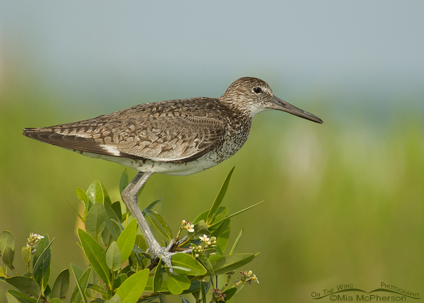 Eastern Willet in breeding plumage