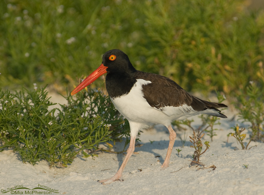 Adult American Oystercatcher among Sea Purslane