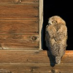 Great Horned Owlet in a granary window