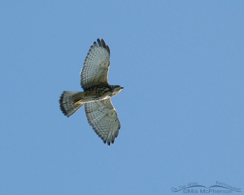 Juvenile Broad-winged Hawk
