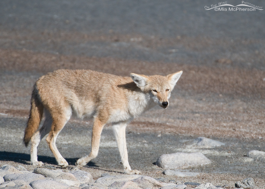 A Coyote from the older generation