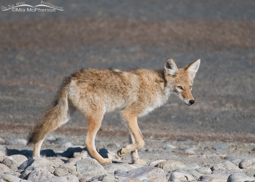A Coyote from the younger generation