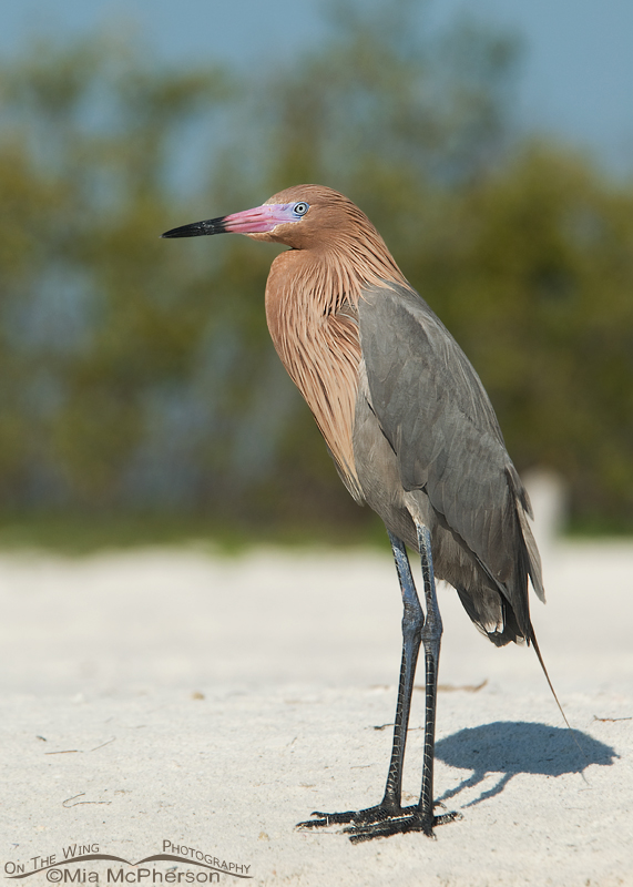 Adult Reddish Egret in breeding plumage