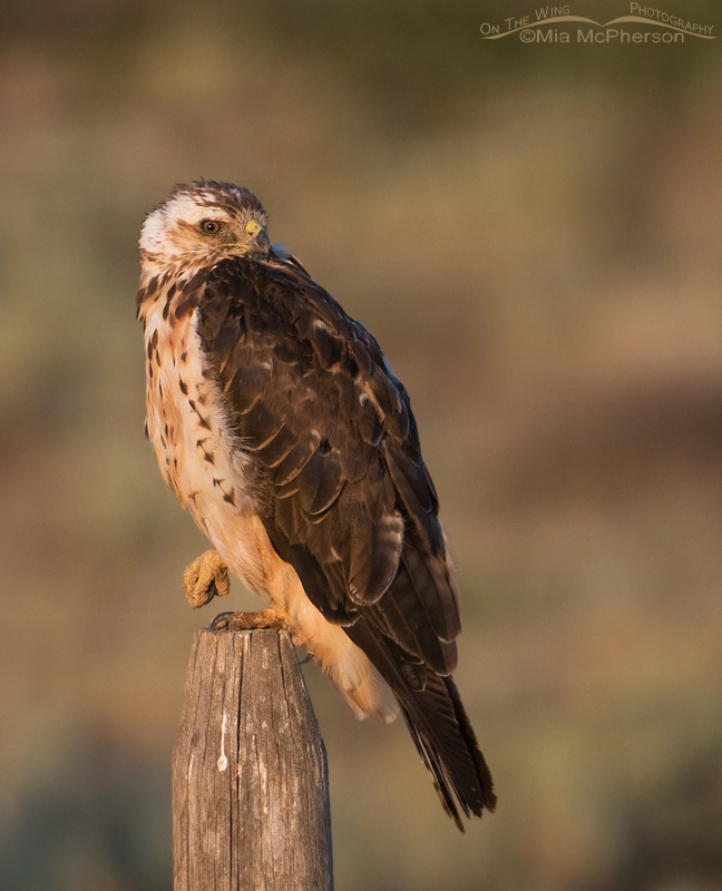 Light Swainson's Hawk sub-adult in the Centennial Valley, Montana