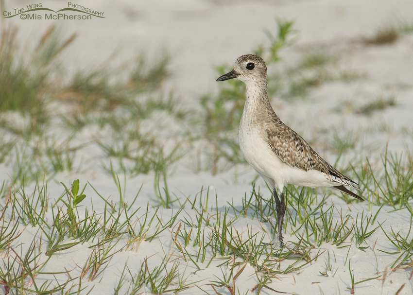 Black-bellied Plover in habitat