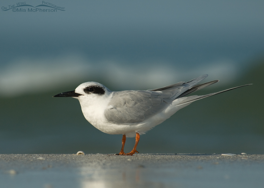 Forster's Tern in front of a dark colored wave