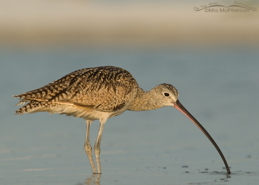 Female Long-billed Curlew