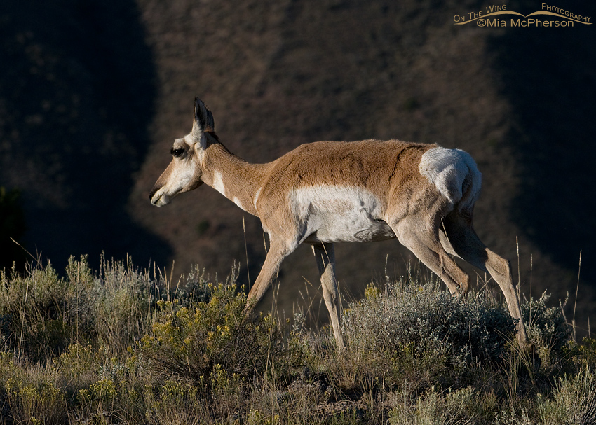 Pronghorn doe with dark canyon walls behind her
