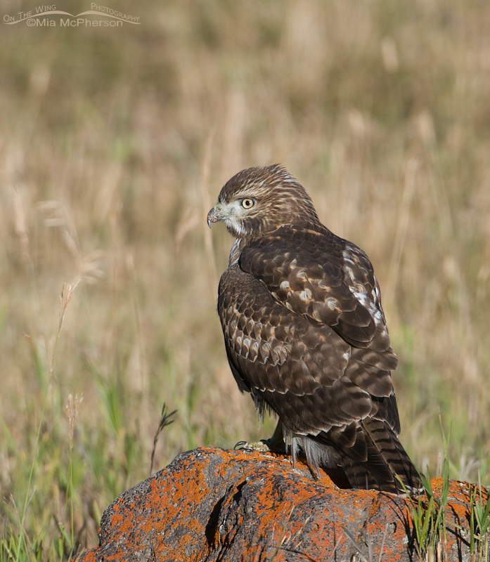 Juvenile Red-tailed Hawk on a lichen covered rock