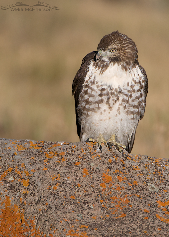 A very calm Red-tailed Hawk juvenile