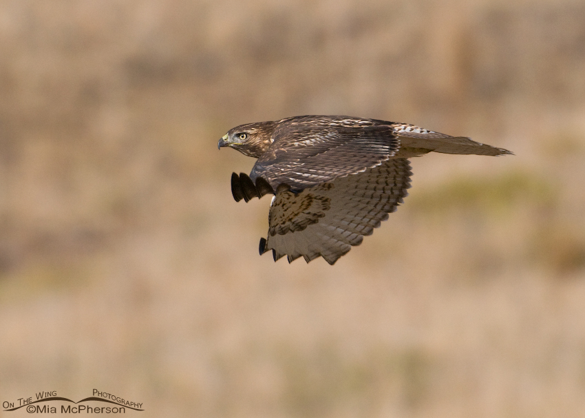 Juvenile Red-tailed Hawk gliding by