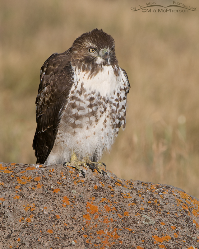 Juvenile Red-tailed