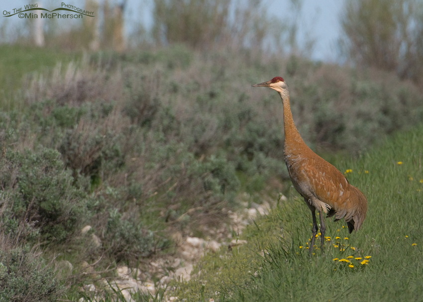 """Stained"" adult Sandhill Crane"