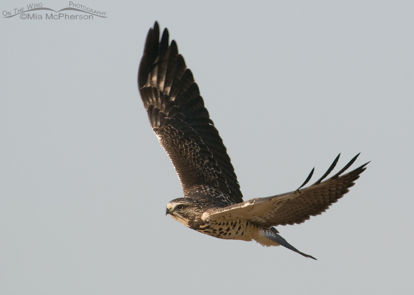 Juvenile Swainson's Hawk fly by