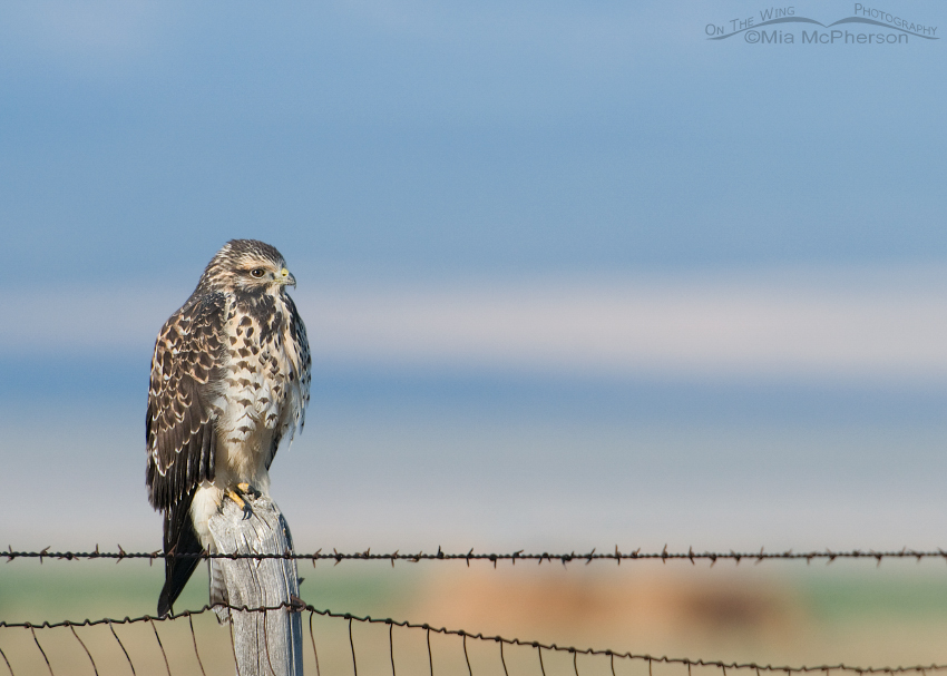 Swainson's Hawk juvenile on a wire fence