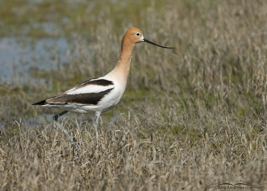 American Avocet at the edge of the marsh