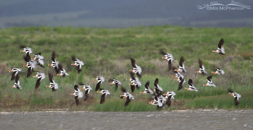 American Avocets in flight during a storm