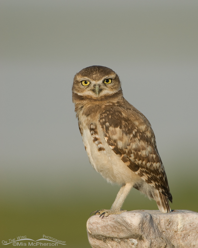 Burrowing Owl chick