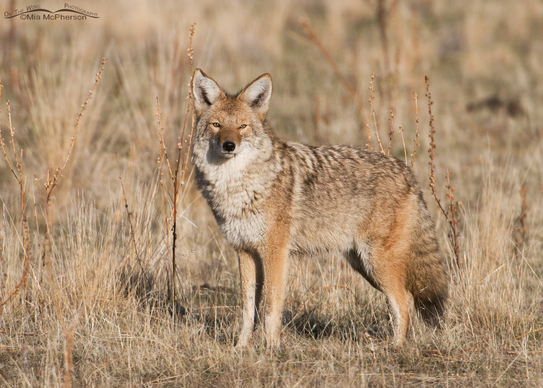 Coyote in its winter coat