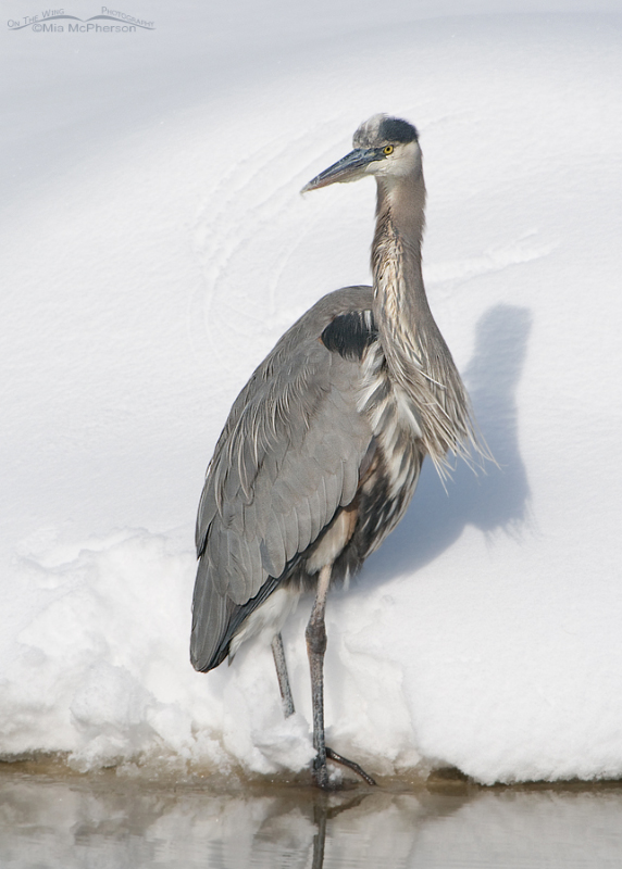 Great Blue Heron next to a creek