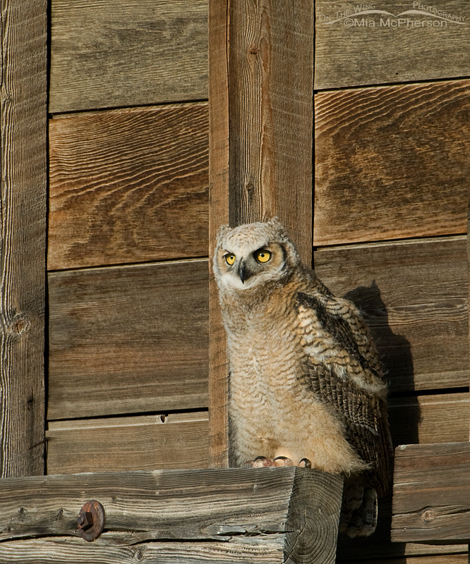 A young Great Horned Owl is a Tiger of the Sky in the making