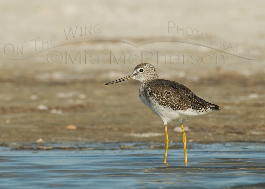Greater Yellowlegs in a tidal lagoon - Large watermark