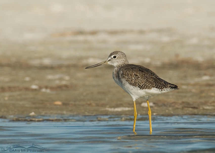 Greater Yellowlegs in a tidal lagoon - Small watermark