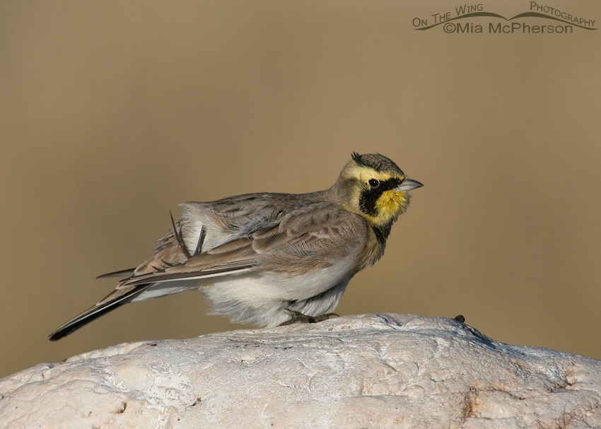 Male Horned Lark with an itch