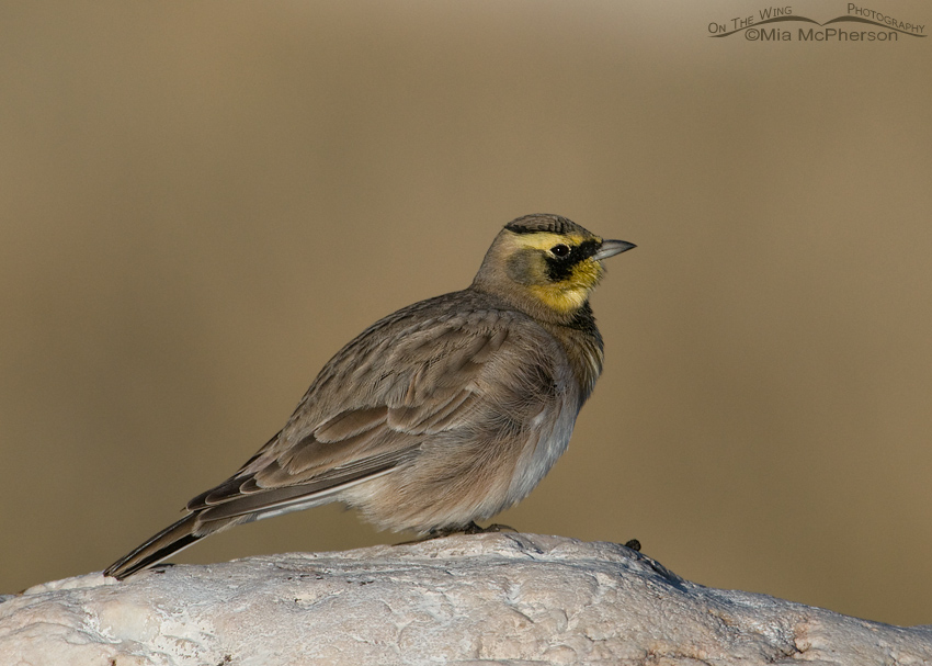 Male Horned Lark all fluffed up