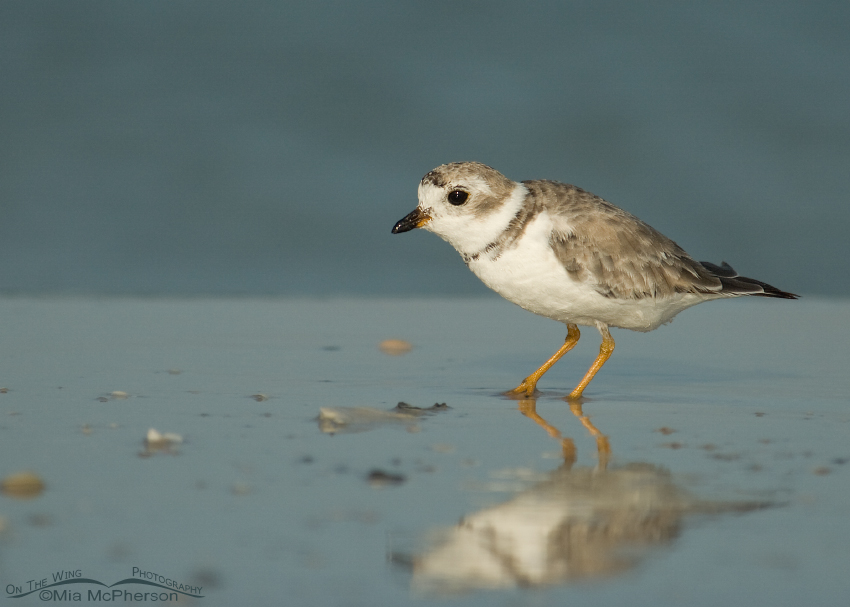 Piping Plover on the shore of the Gulf of Mexico