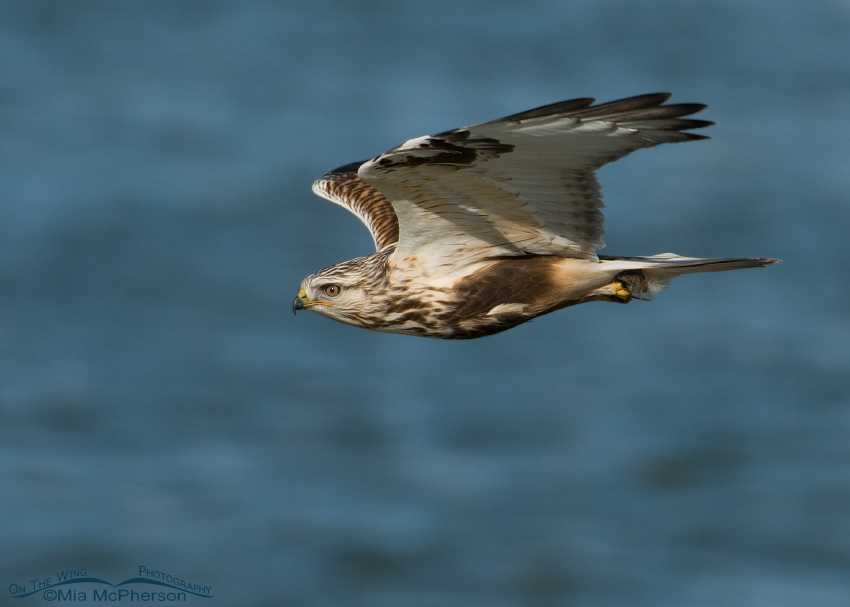 Rough-legged Hawk with a vole in flight over the Great Salt Lake