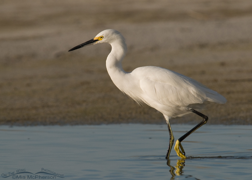 Snowy Egret in a hurry