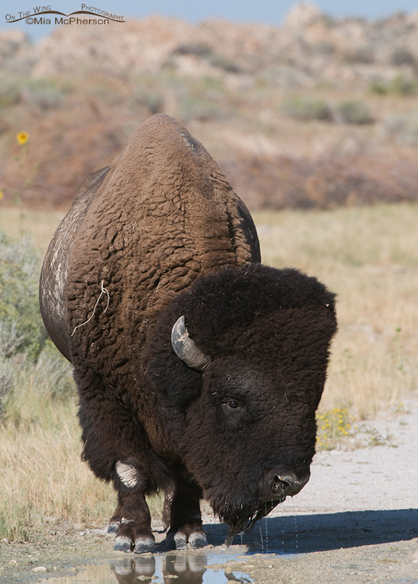 Bison drinking water from a puddle