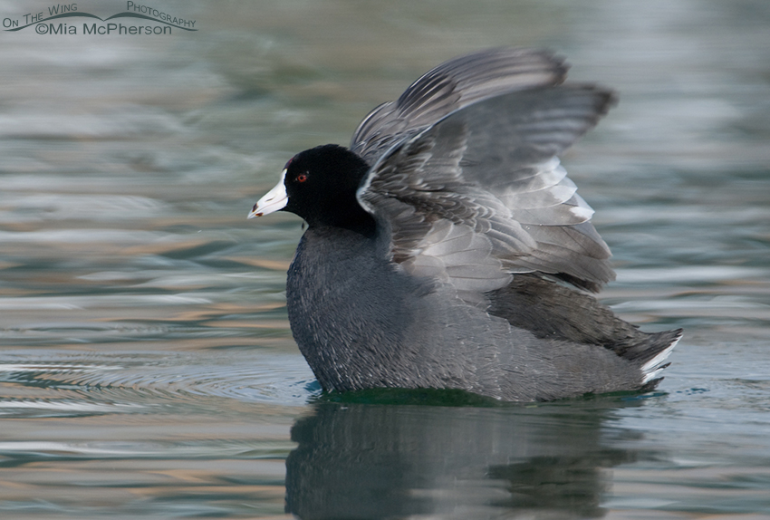 American Coot wing flapping