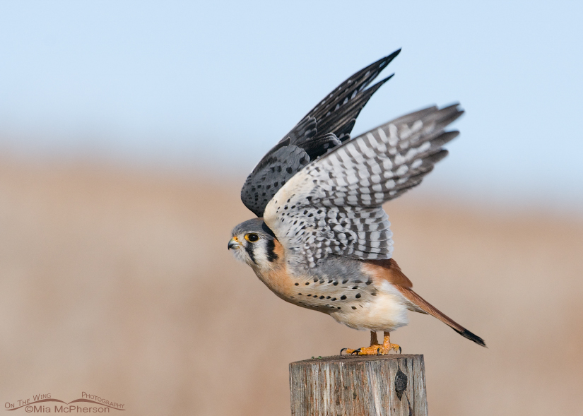 American Kestrel lift off