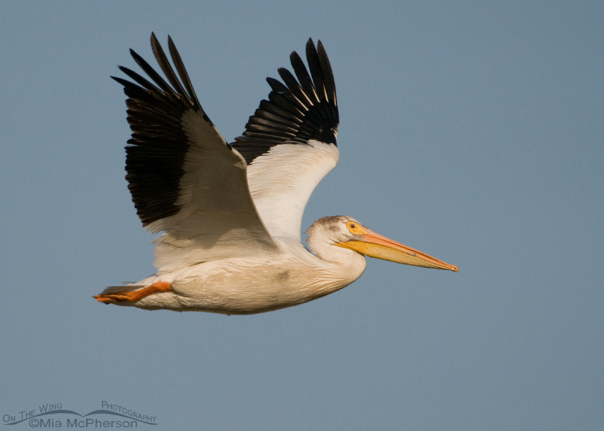 American White Pelican flying over Bear River MBR
