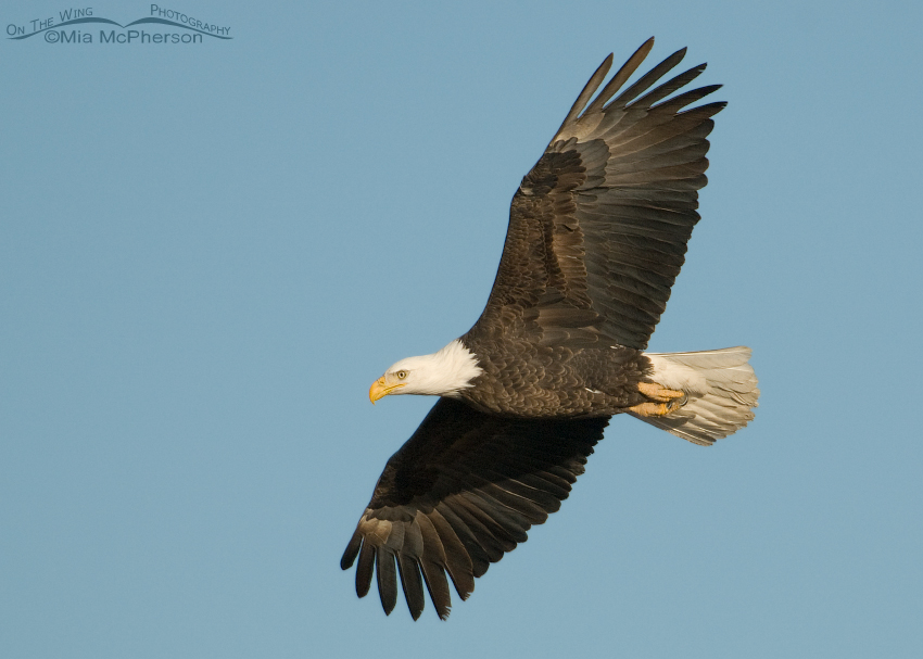 Bald Eagle adult in flight