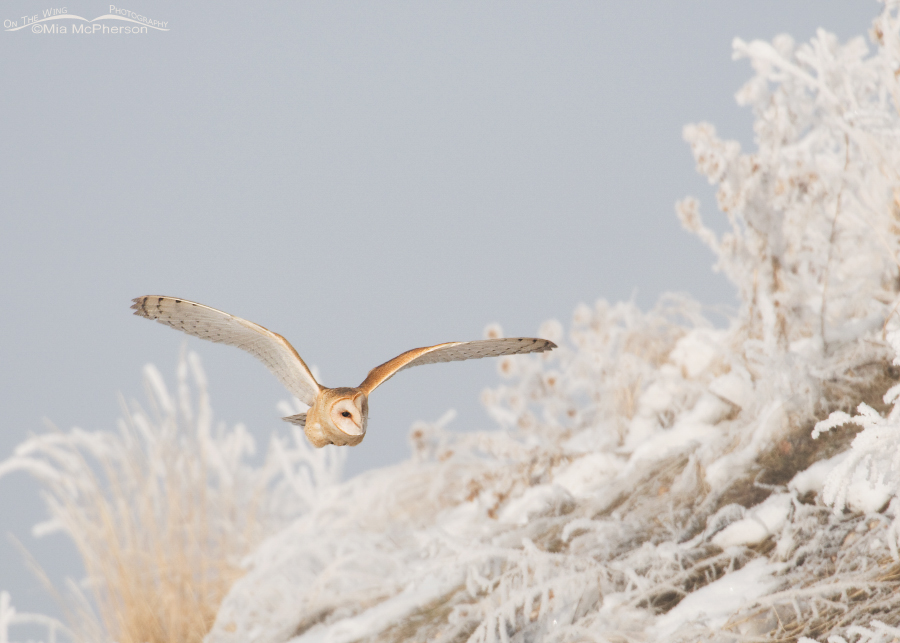 Barn Owl flying near a hill