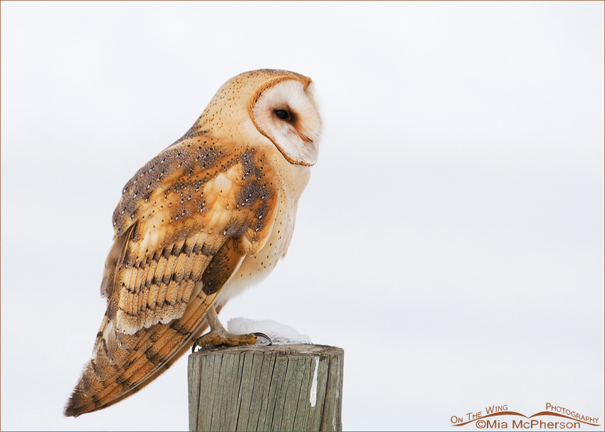 Perched Barn Owl - High Key
