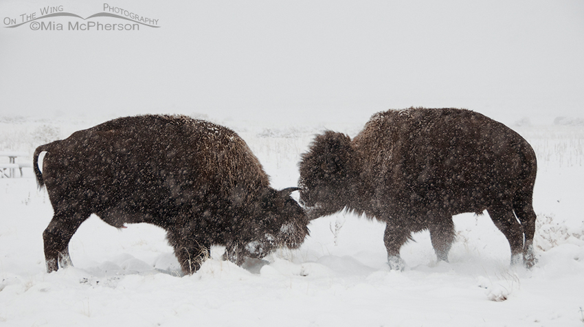 Bison fighting in a snow storm