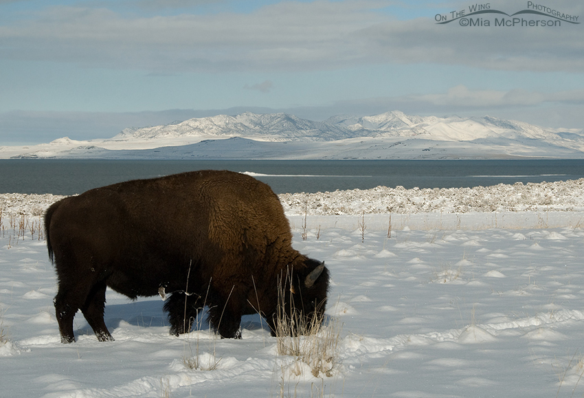Bison grazing in the snow