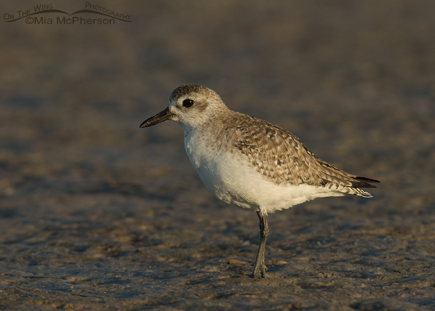 Black-bellied Plover on a tidal mudflat