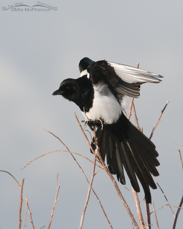 Black-billed Magpie stretching