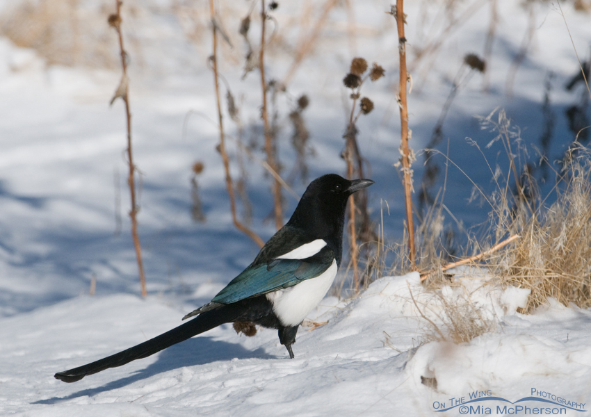 Black-billed Magpie in the snow